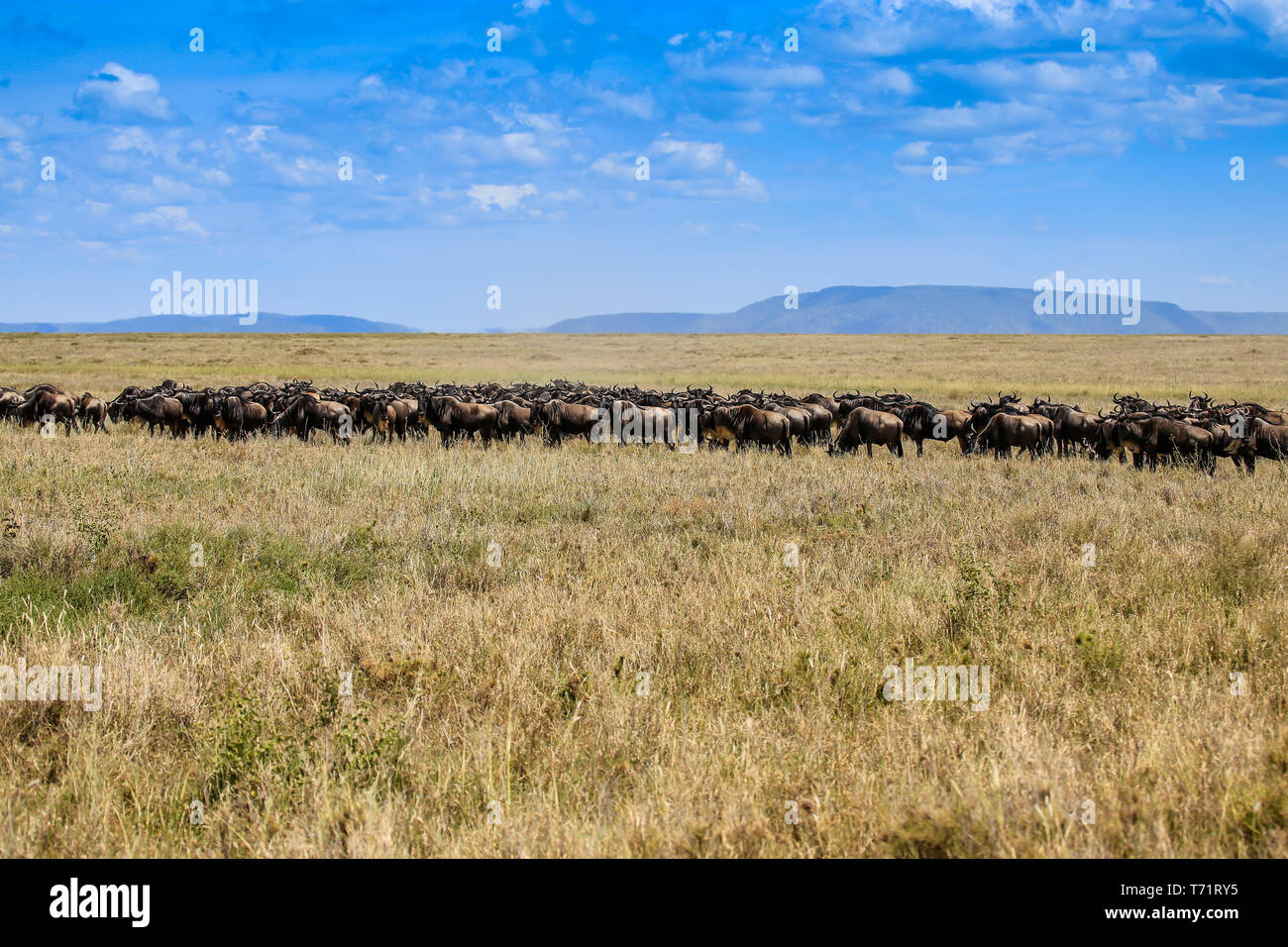 herd of wildebeast walking across dry plain and a mountain in the far distance, with room for text - Stock Image