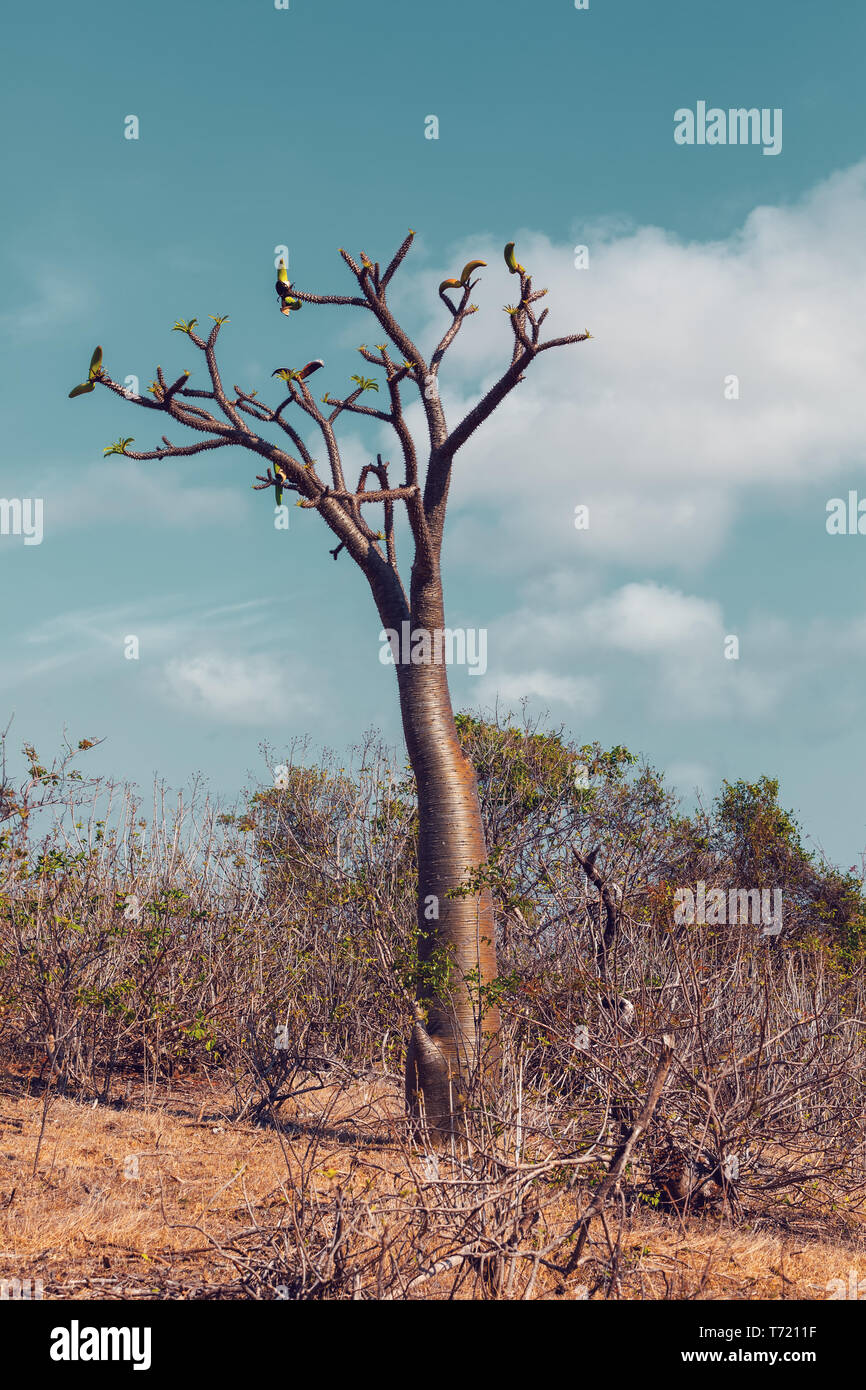 pachypodium tree in Madagascar wilderness - Stock Image