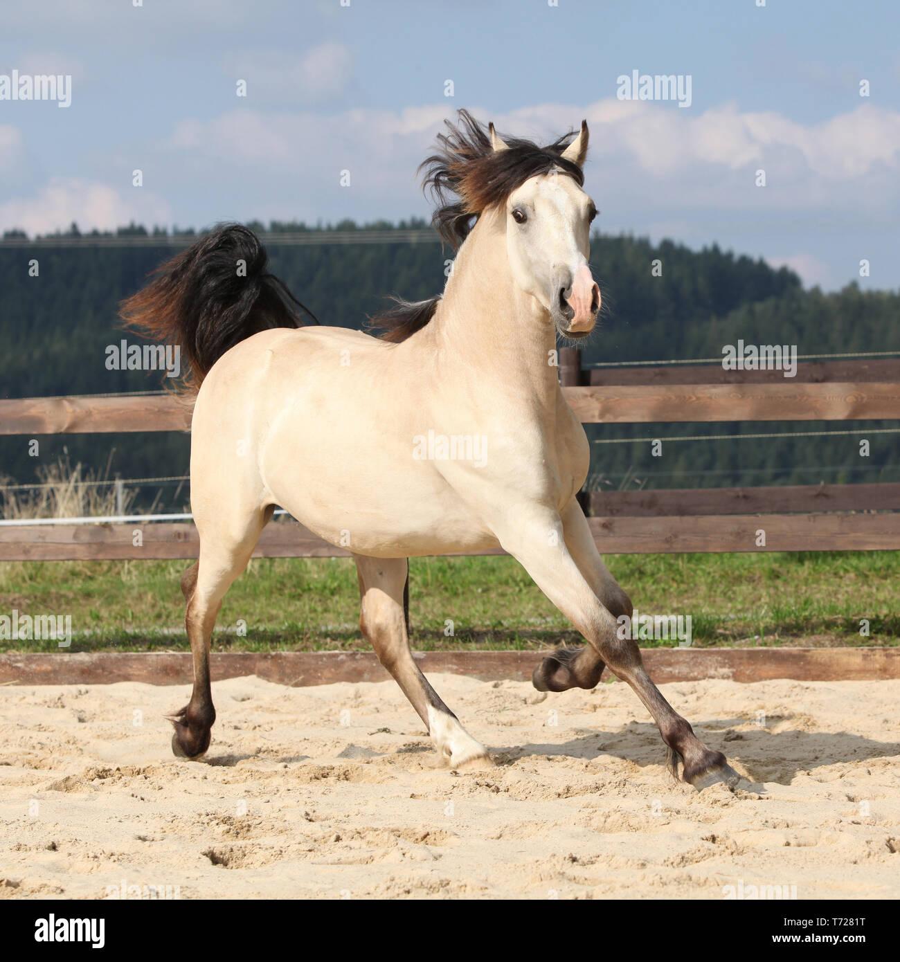 Beautiful Palomino Horse Running On The Sand Stock Photo Alamy