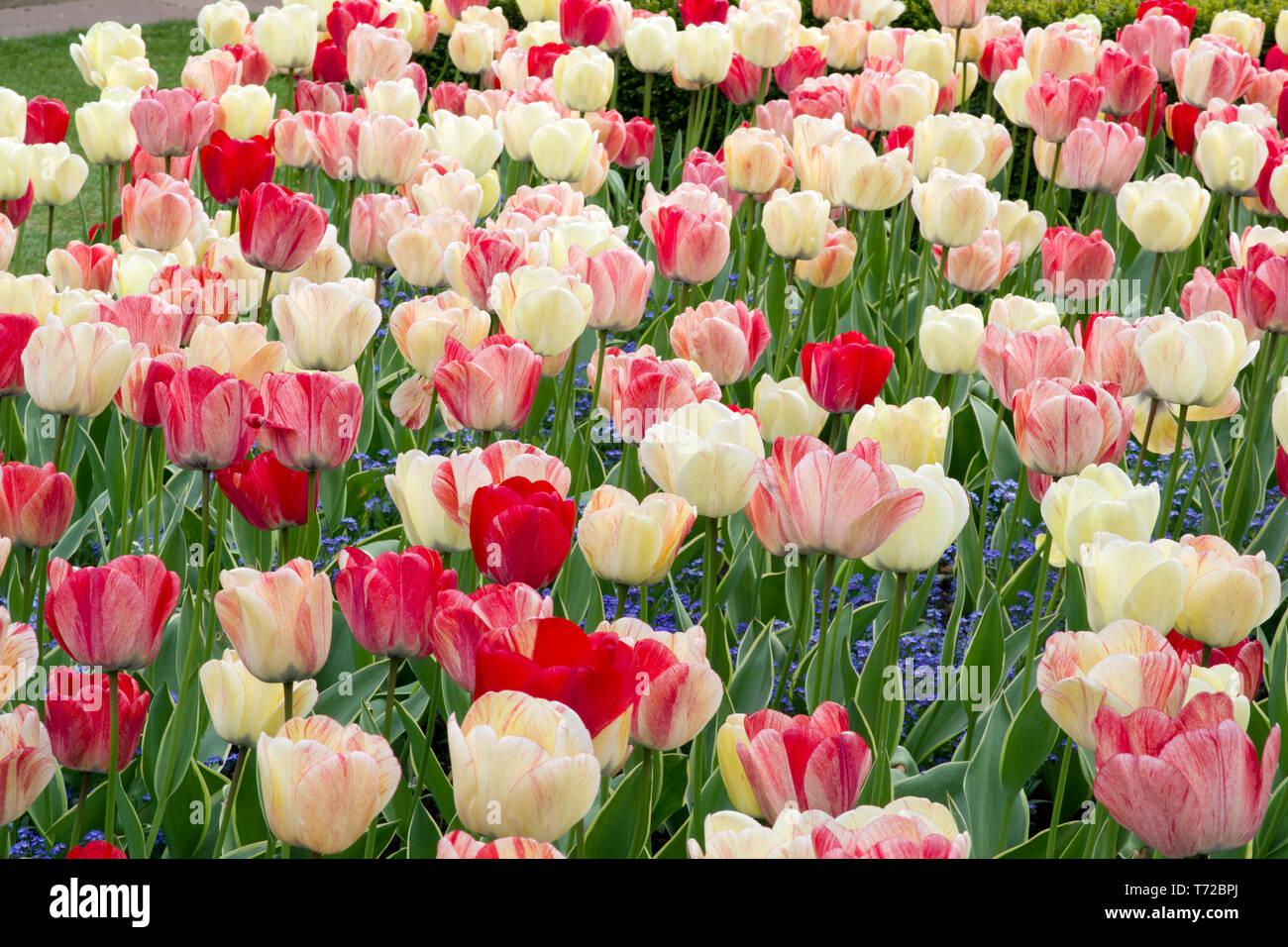 Tulip Silver Stream - Stock Image