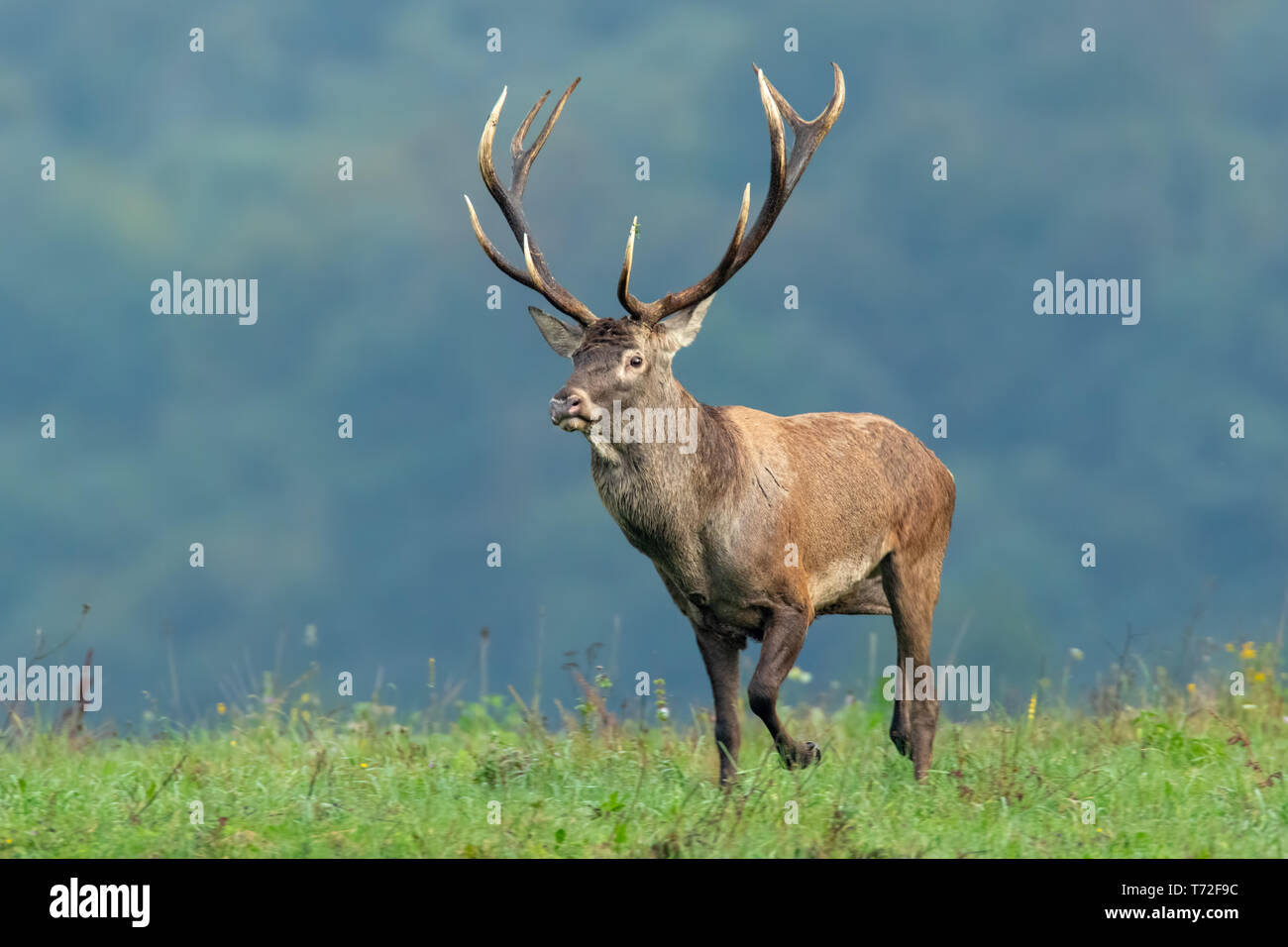 Red deer stag running in nature with short green grass and blurred background - Stock Image