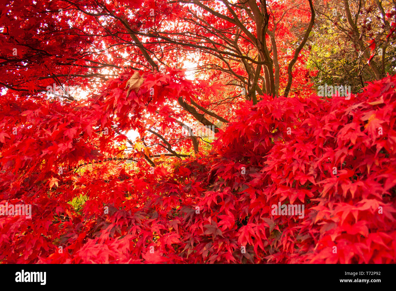 Acer Palmatum Red Baron Japanese Maple Tree In English Garden On