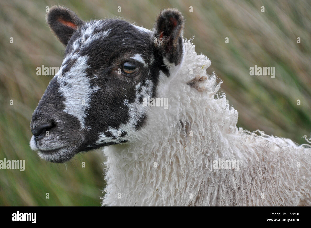 Portrait Of Young Scottish Blackface Sheep In The Moorland