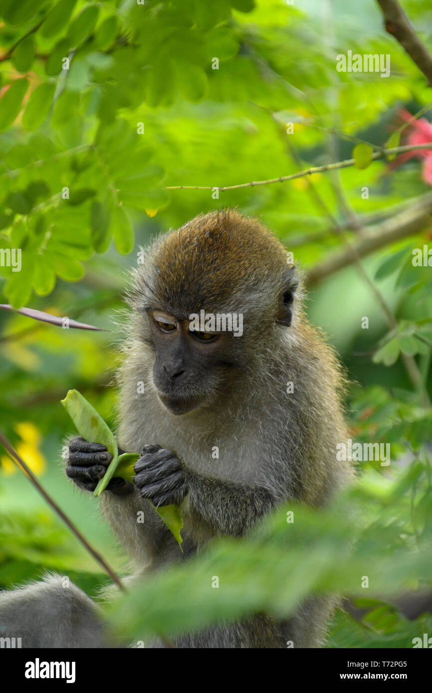 Portrait of young long-tailed Macaque tries to open plant seed while sitting on the tree in Singapore - Stock Image