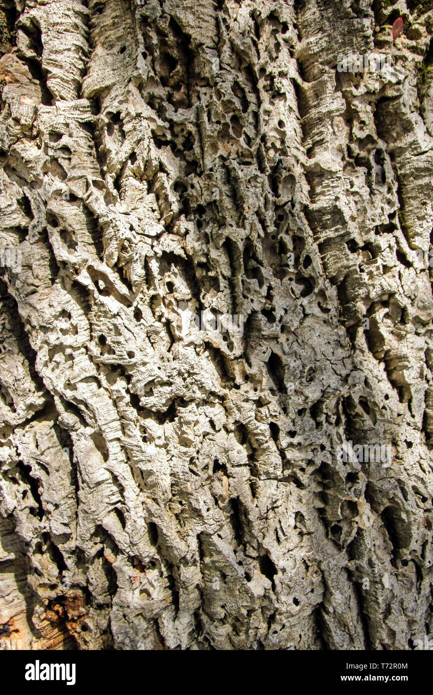 bark of a cork tree - Stock Image