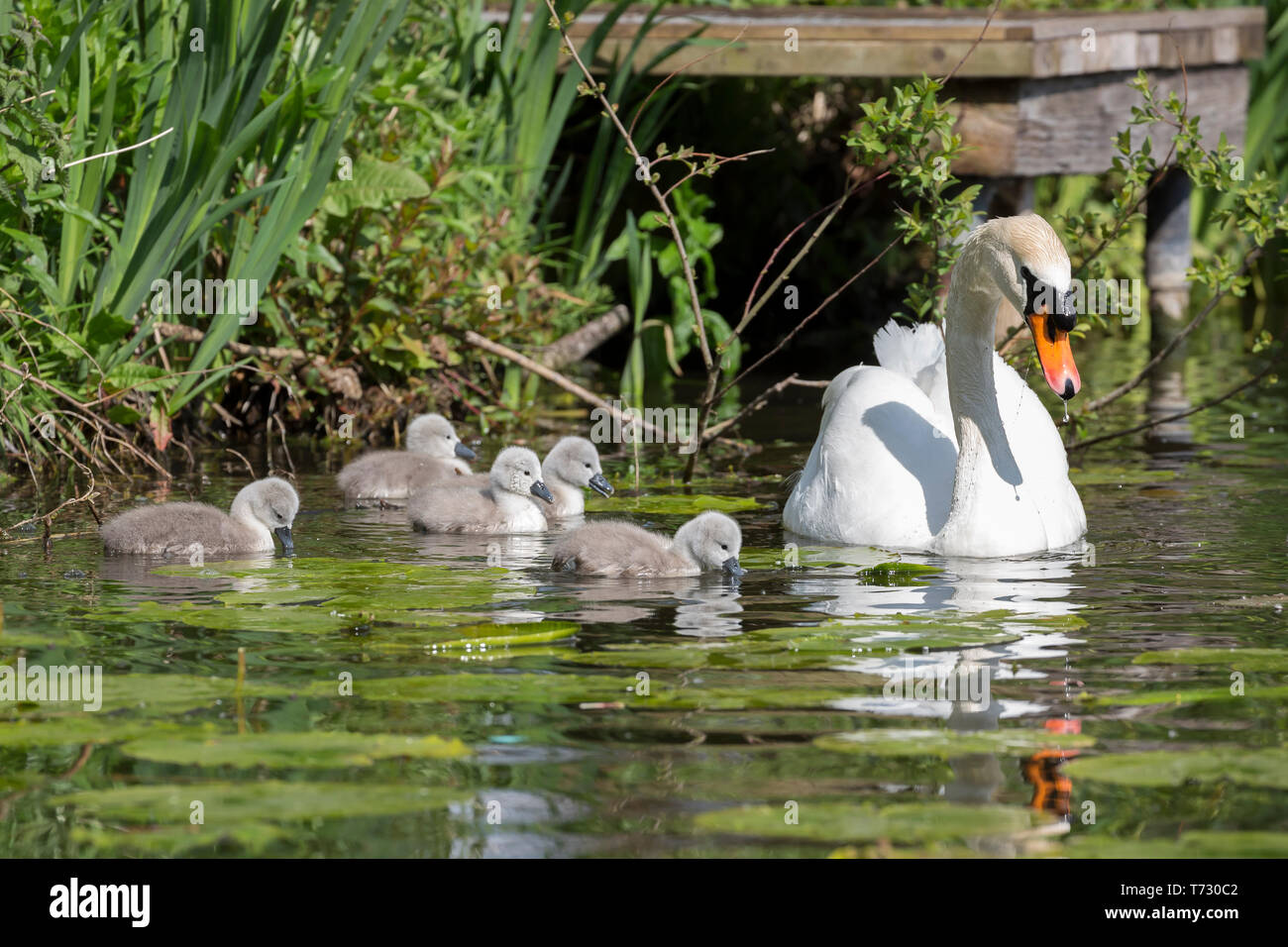 Beautiful close up of mute swan parent (Cygnus olor UK) outdoors with five baby cygnets in the spring sunshine swimming in natural habitat, UK pond. Stock Photo