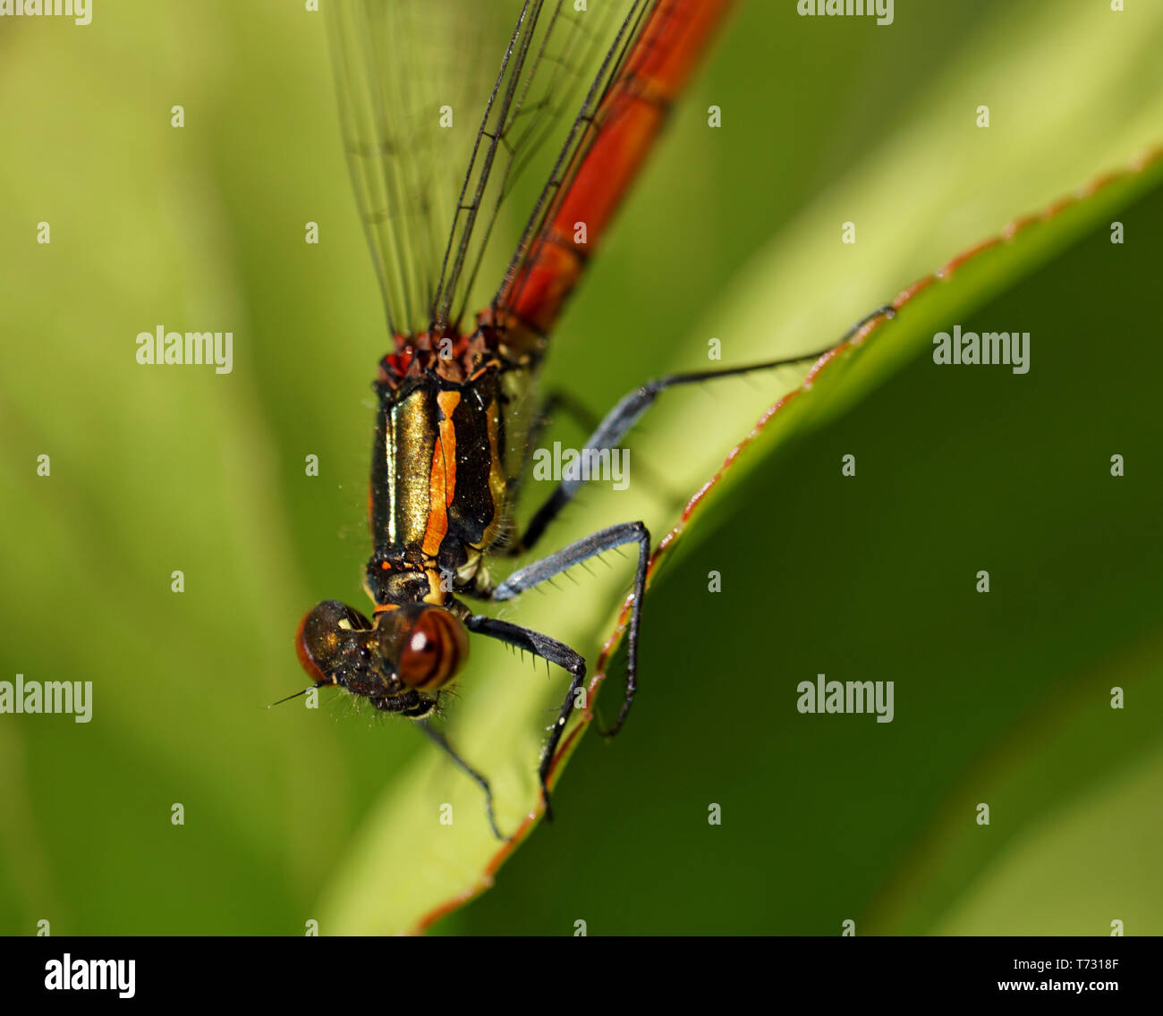 Libelle - dragonfly - Stock Image