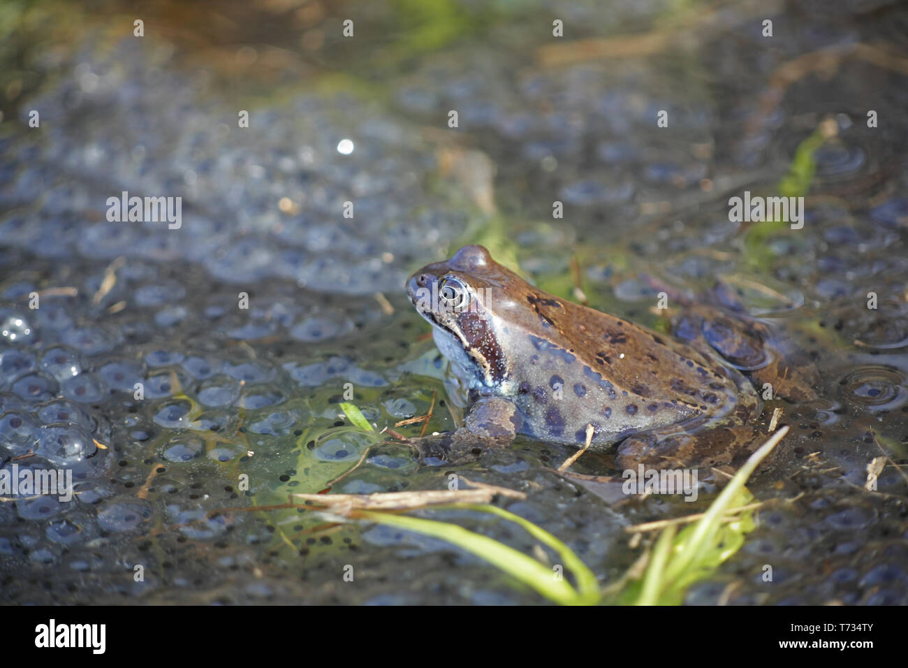 Common frog, Rana temporaria, also known as the European common frog, European common brown frog and European grass frog, on a pond filled with spawn - Stock Image