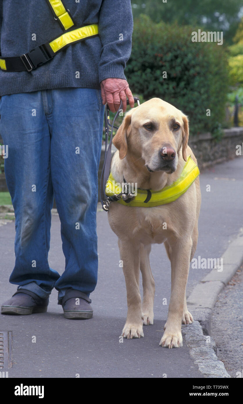 guide dog for blind walking with owner on pavement Stock Photo