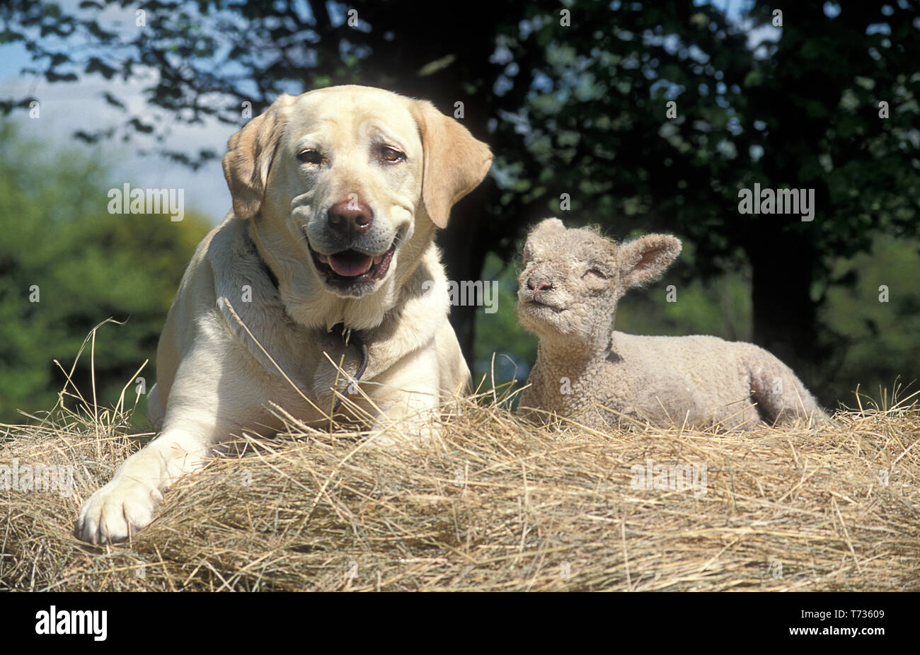 golden labrador and lamb sitting on haystack Stock Photo