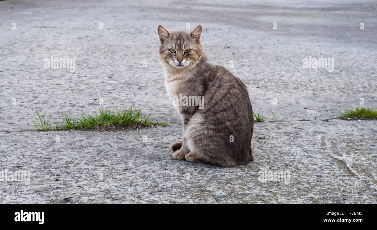 Gray cat with green eyes sitting on a pavement looking at camera - Stock Image
