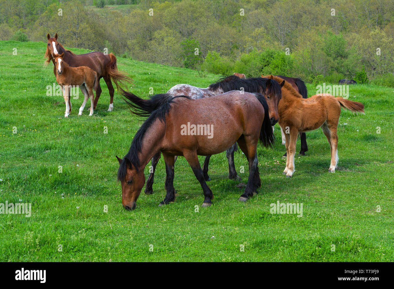 A herd of horses grazing on a green mountain meadow in Strandzha mountain, Bulgaria. Stock Photo