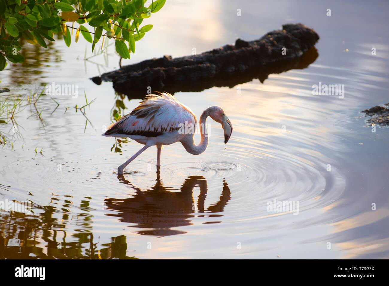 Caribean (American) flamingo in the lagoons of Puerto Villamil of Isabela Island, Galapagos. - Stock Image