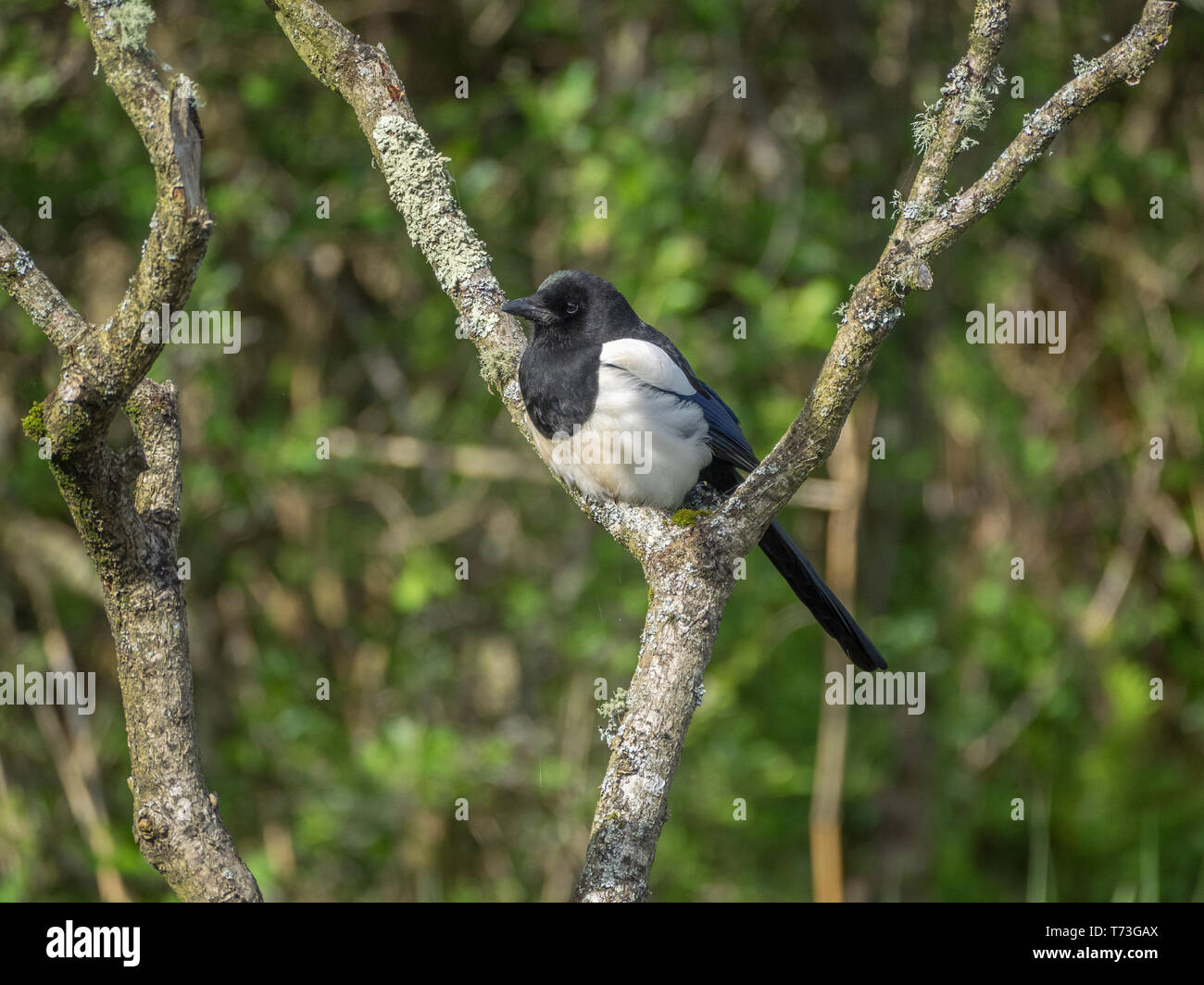 Magpie on perch Stock Photo