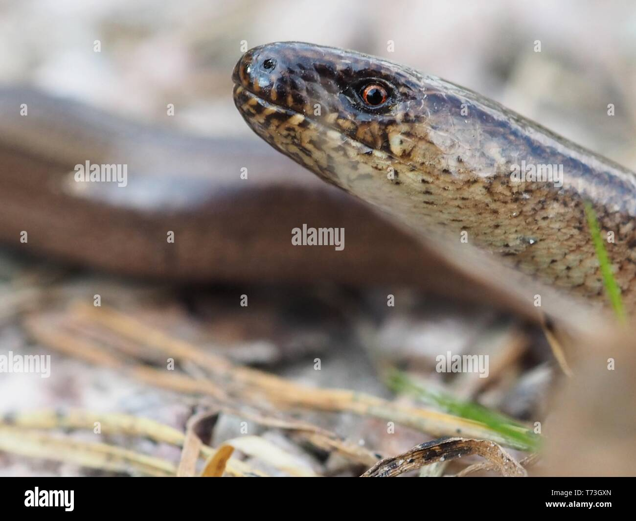 Slow worm close up - Stock Image