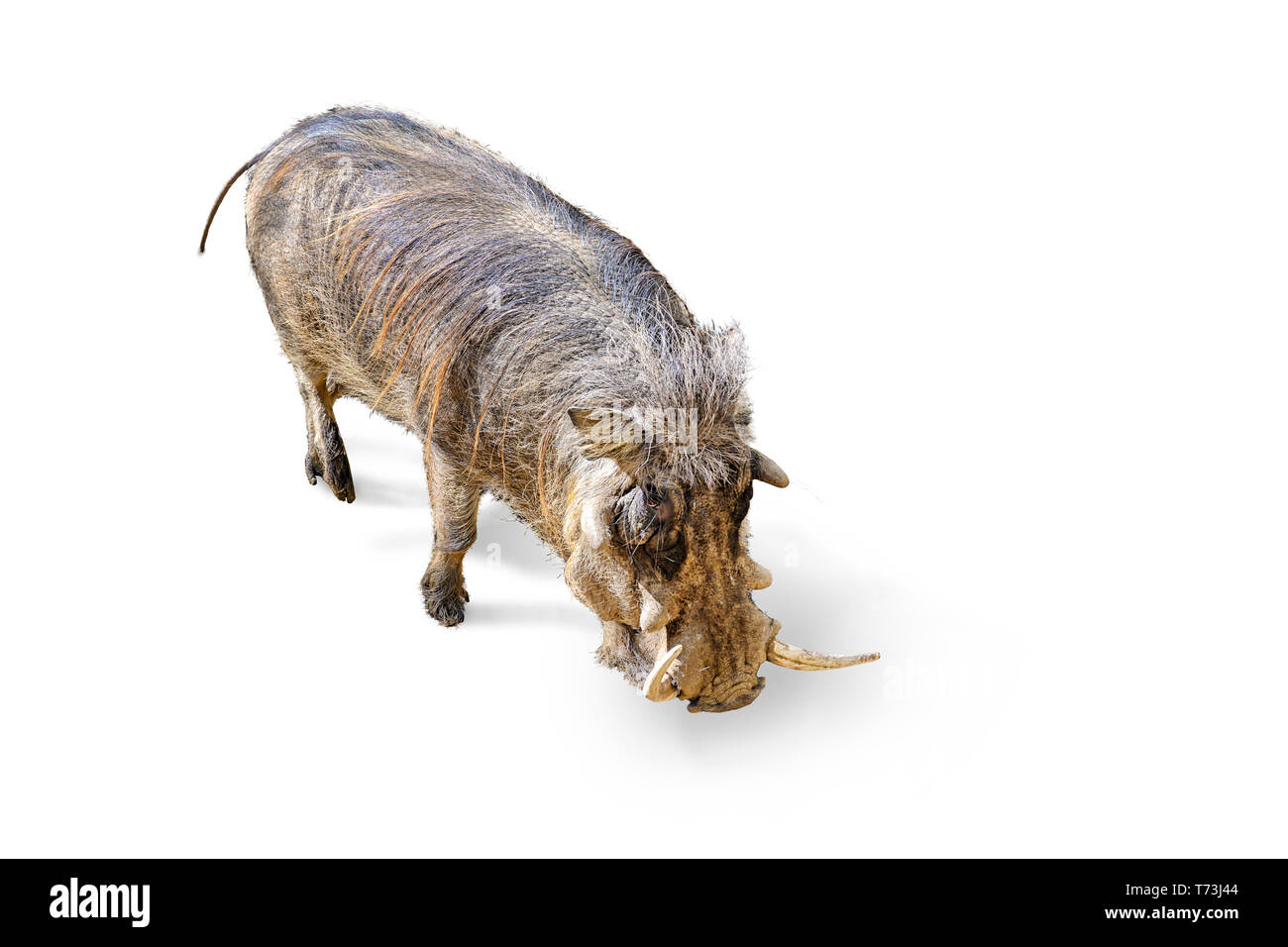 common warthog, phacochoerus africanus. Location: Namibia, Botsuana, Zimbabwe, and Natal in Africa. A sensitive snout that's wide and flat helps these - Stock Image