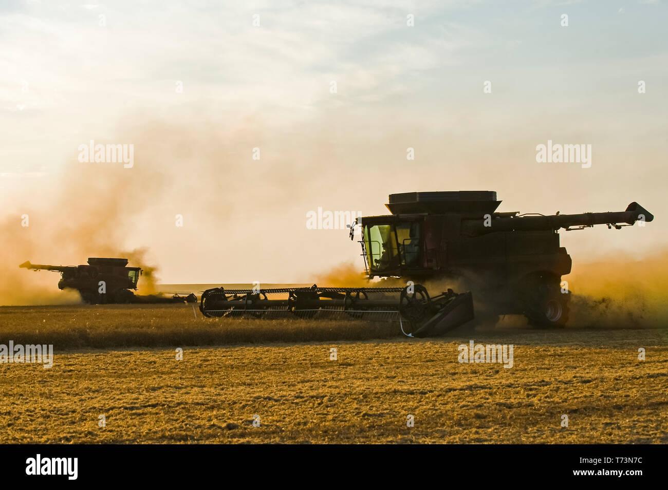 A combine harvester works in a yellow field pea field, near Winnipeg; Manitoba, Canada Stock Photo