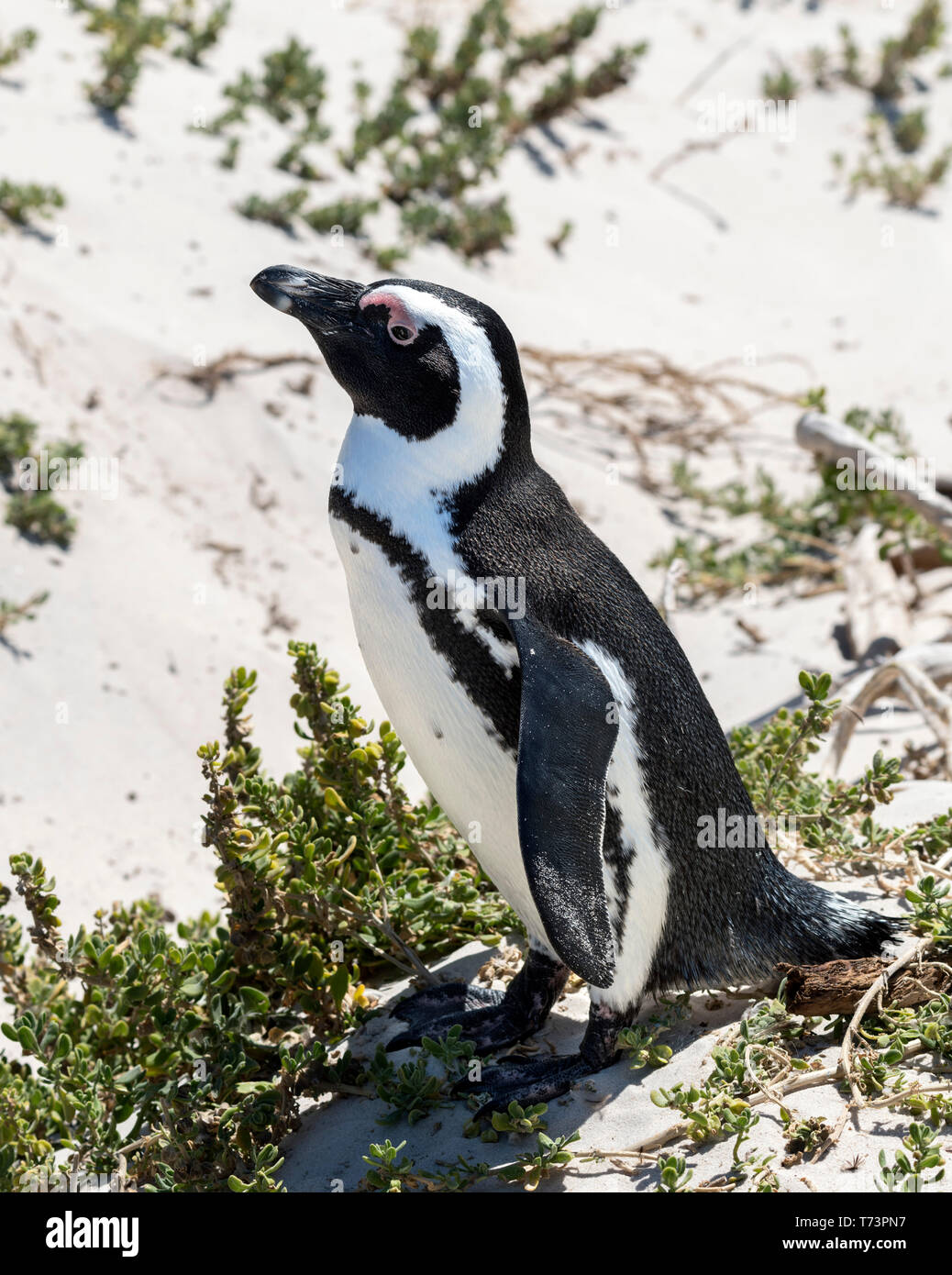 African Penguin (Spheniscus demersus), also known as Jackass Penguins or Black-footed Penguins, Boulders Beach, Simon's Town, Cape Town, South Africa. Stock Photo
