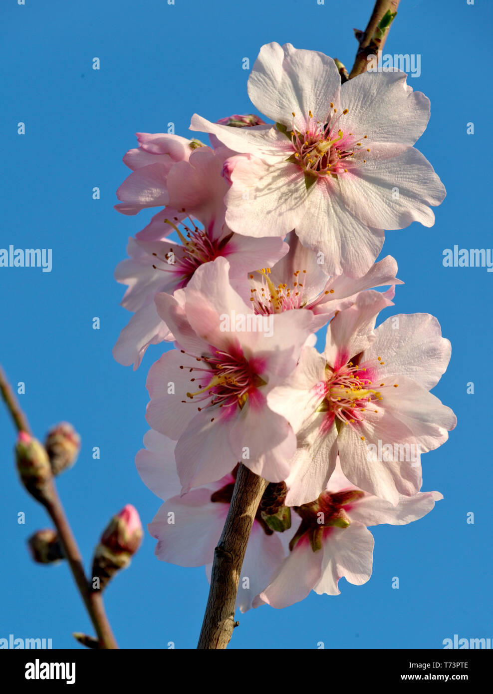 almond blossom  (in the Algarve ) in early Spring Stock Photo
