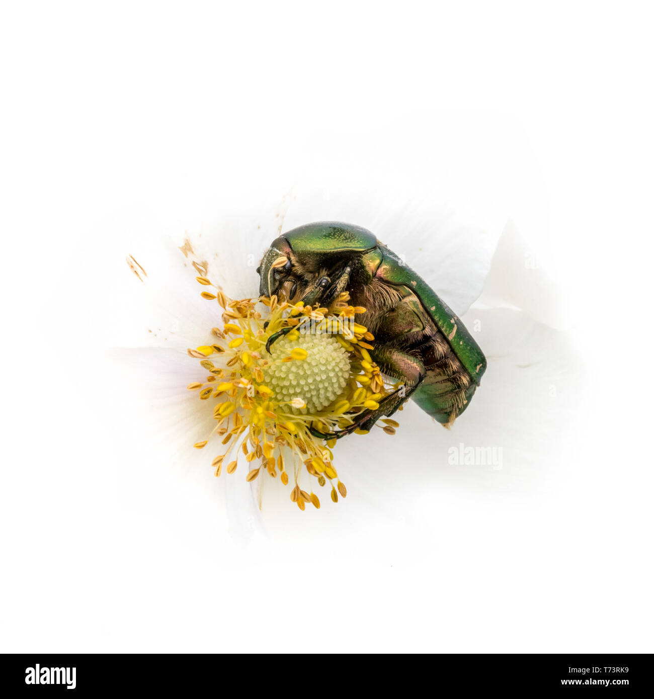 Gold shiny rose beetle on white blossom while eating in front of white background - Stock Image