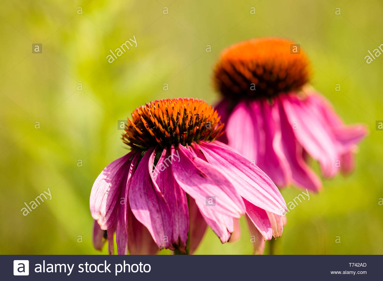 Two purple coneflowers captures the early August afternoon sun and bends with the breeze within the Forest Beach Migratory Preserve near Port Washingt - Stock Image