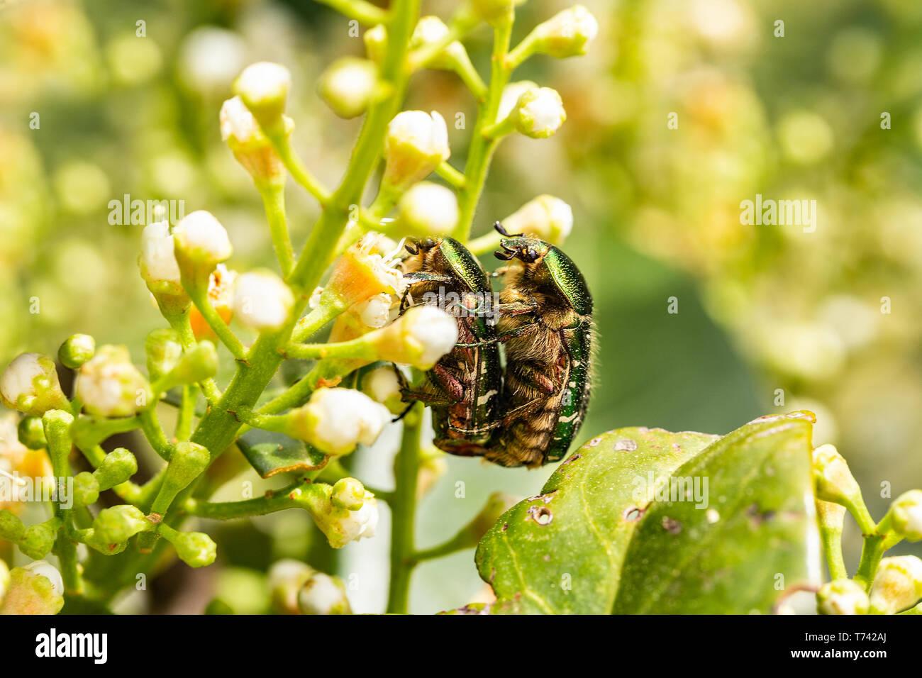 Closeup of Goldsmith beetle - Cetonia aurata - having sex during mating season Stock Photo