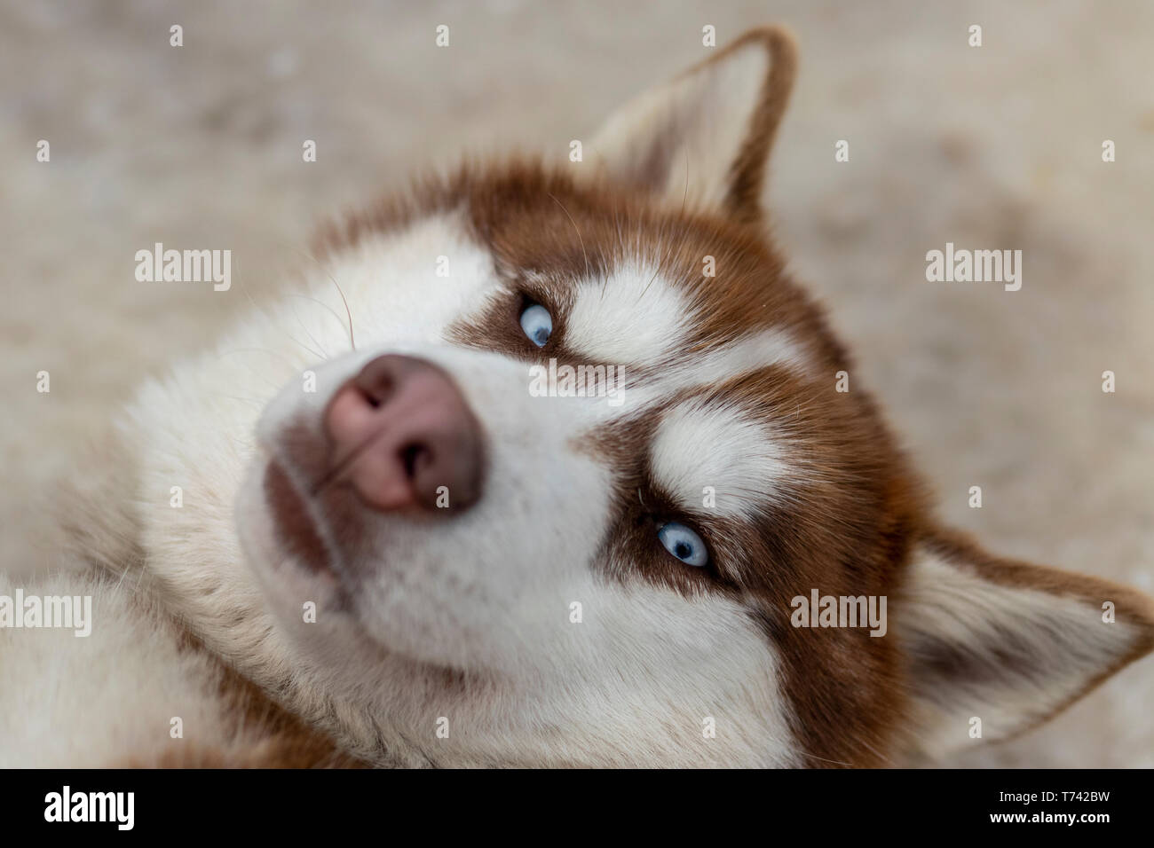 Close up blue-eyed Gray Adult Siberian Husky Dog portrait Stock Photo