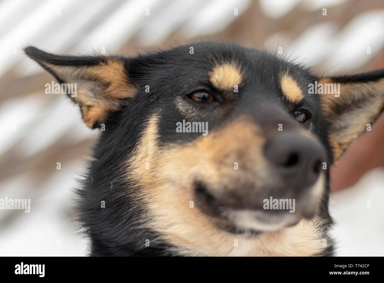Funny dog disgust, denial, disagreement face. Don't like that. grins teeth pet. White background - Stock Image