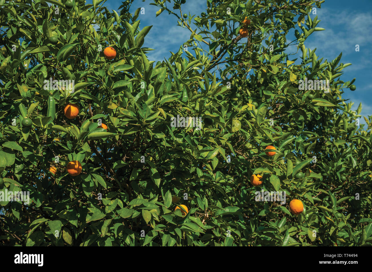 Close-up of ripe oranges stuck to leafy branches in a sunny day, on a small farm near Elvas. A gracious city on the easternmost frontier of Portugal. Stock Photo