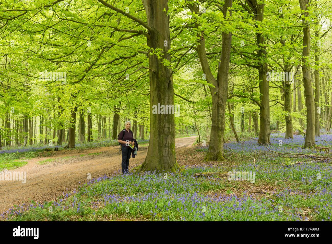 Mature woman walking in beech woodland among Bluebells, Hyacinthoides non-scripta, Angmering Park Estate, Sussex, UK, April Stock Photo