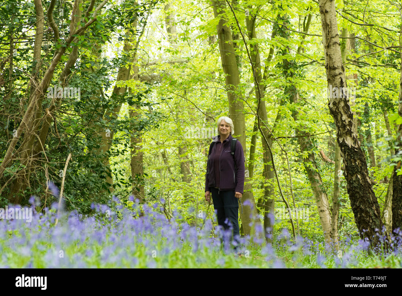 Mature woman walking in woodland among Bluebells, Hyacinthoides non-scripta, Sussex, UK, April Stock Photo