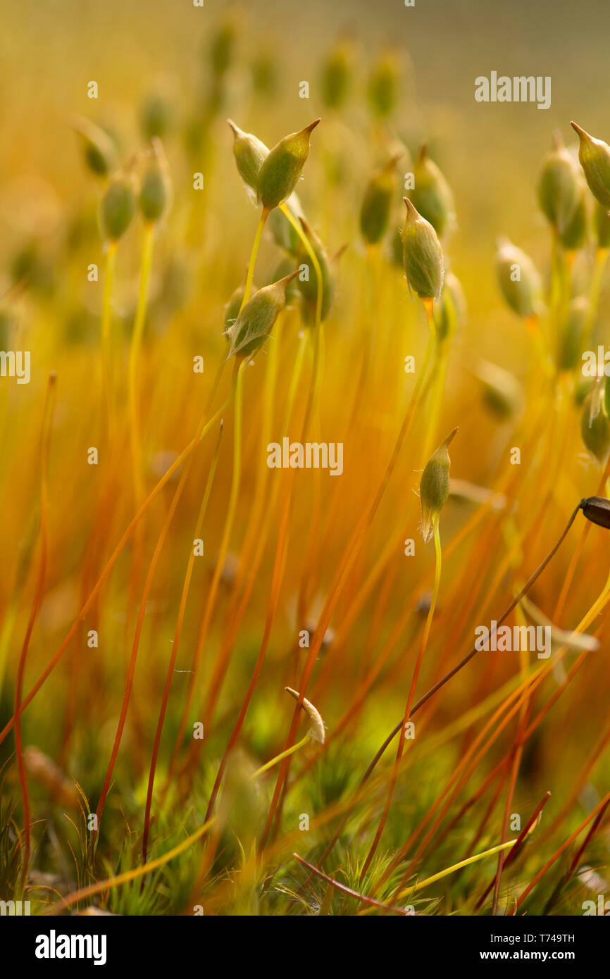 Close-up of moss with seed heads, unknown species on ground in woodland in Sussex, UK, May. Stock Photo