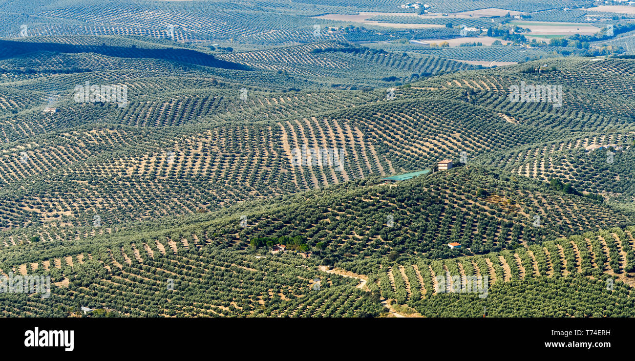 Olive farms; Vianos, Albacete Province, Spain Stock Photo