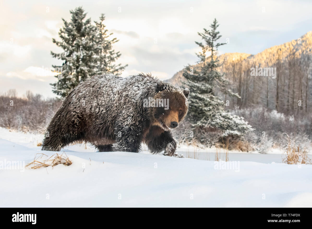 Grizzly bear (Ursus arctic sp.) walking in the snow, Alaska Wildlife Conservation Center, South-central Alaska Stock Photo