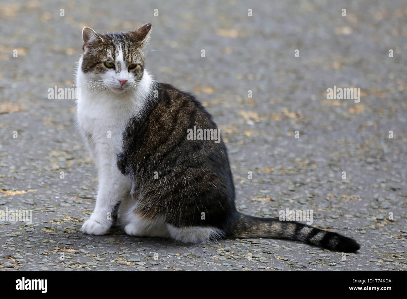 London, UK. 1st May, 2019. Larry, the 10 Downing Street cat and Chief Mouser to the Cabinet Office is seen in Downing Street just before the British Prime Minister, Theresa May departs for the House of Commons for the Prime Minister's Question Time. Credit: Dinendra Haria/SOPA Images/ZUMA Wire/Alamy Live News Stock Photo