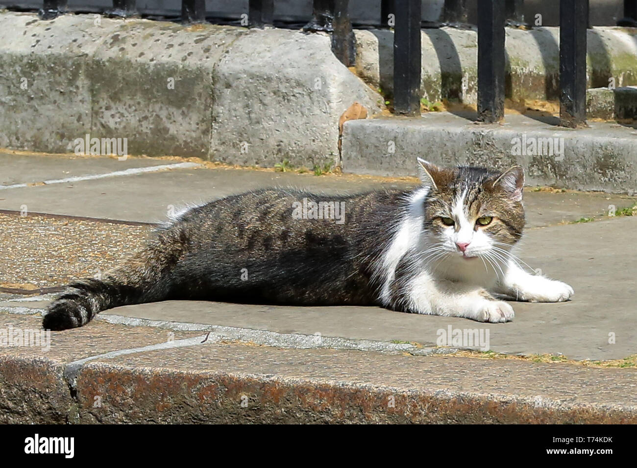 London, UK. 1st May, 2019. Larry, the 10 Downing Street cat and Chief Mouser to the Cabinet Office is seen in Downing Street just before the British Prime Minister, Theresa May departs for the House of Commons for the Prime Minister's Question Time. Credit: Dinendra Haria/SOPA Images/ZUMA Wire/Alamy Live News - Stock Image