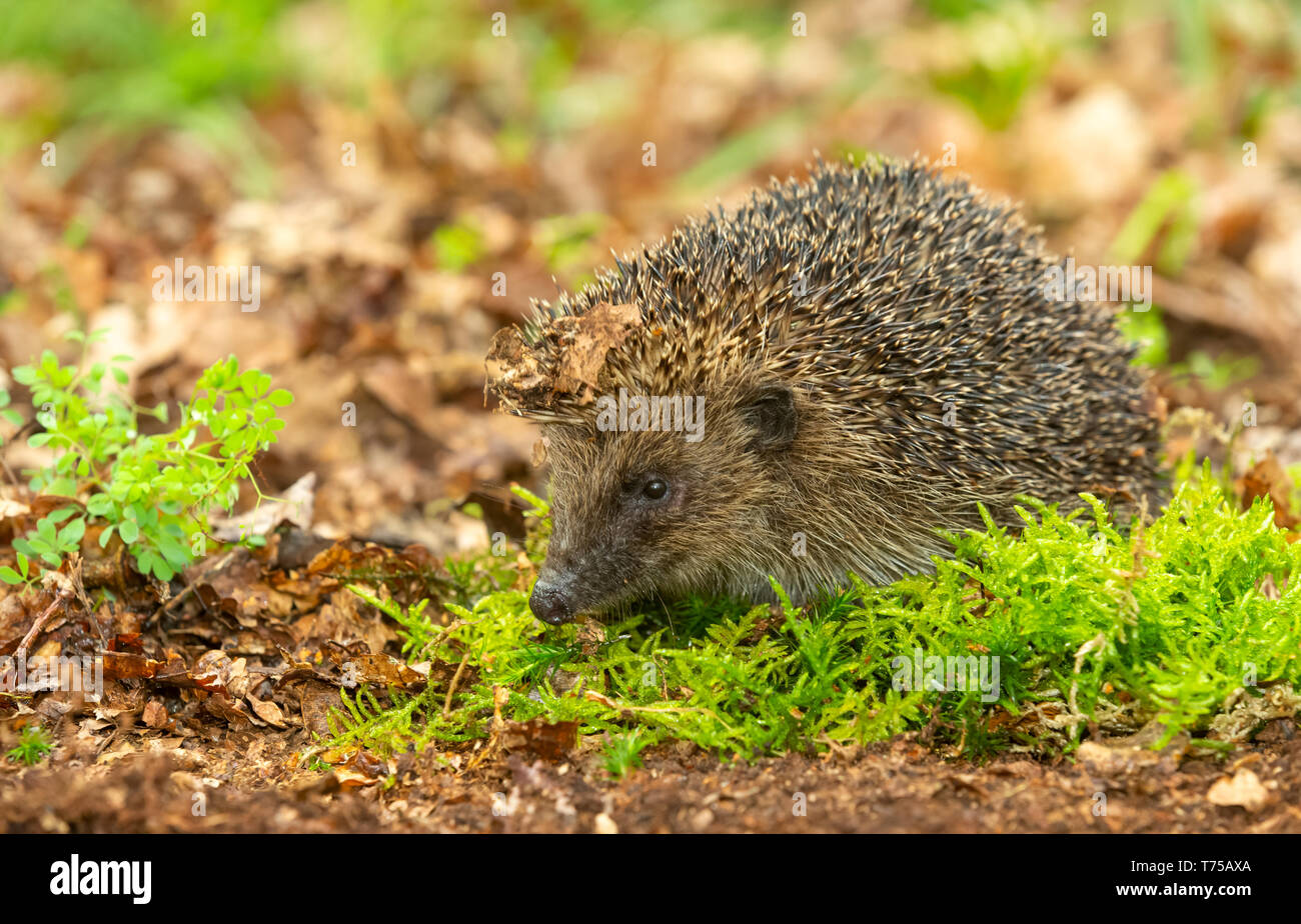 Hedgehog, (Scientific name: Erinaceus Europaeus) wild, native, European hedgehog in natural woodland habitat with green moss in Springtime. Horizontal - Stock Image