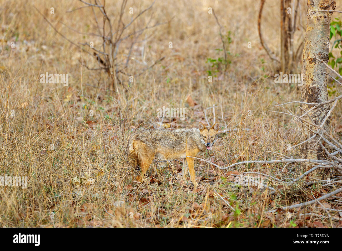 Golden jackal (Canis aureus) standing in ling grass, Bandhavgarh National Park in the Umaria district of the central Indian state of Madhya Pradesh - Stock Image