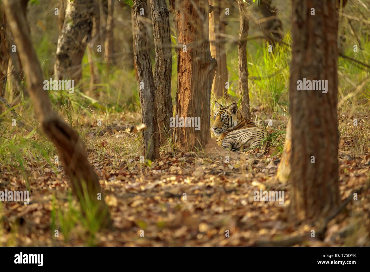 Tigress, Bengal tiger (Panthera tigris) rests lying in woodland in Bandhavgarh National Park, Umaria district, central Indian state of Madhya Pradesh - Stock Image