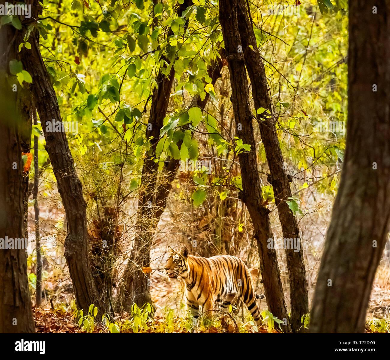Tigress, Bengal tiger (Panthera tigris) walking in woodland, Bandhavgarh National Park, Umaria district of the central Indian state of Madhya Pradesh - Stock Image