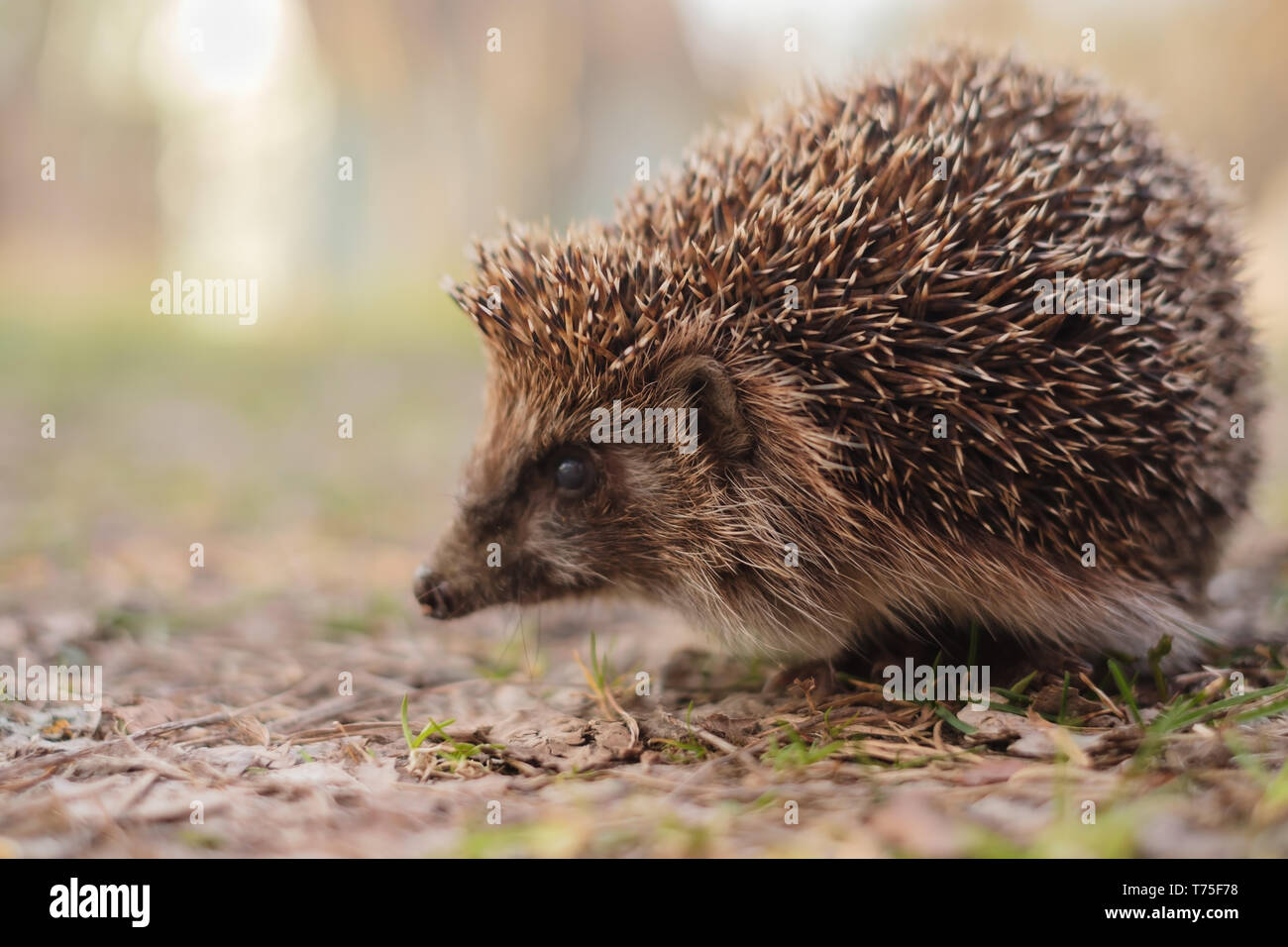 European Hedgehog, Erinaceus europaeus, closeup. Cute funny animal - Stock Image