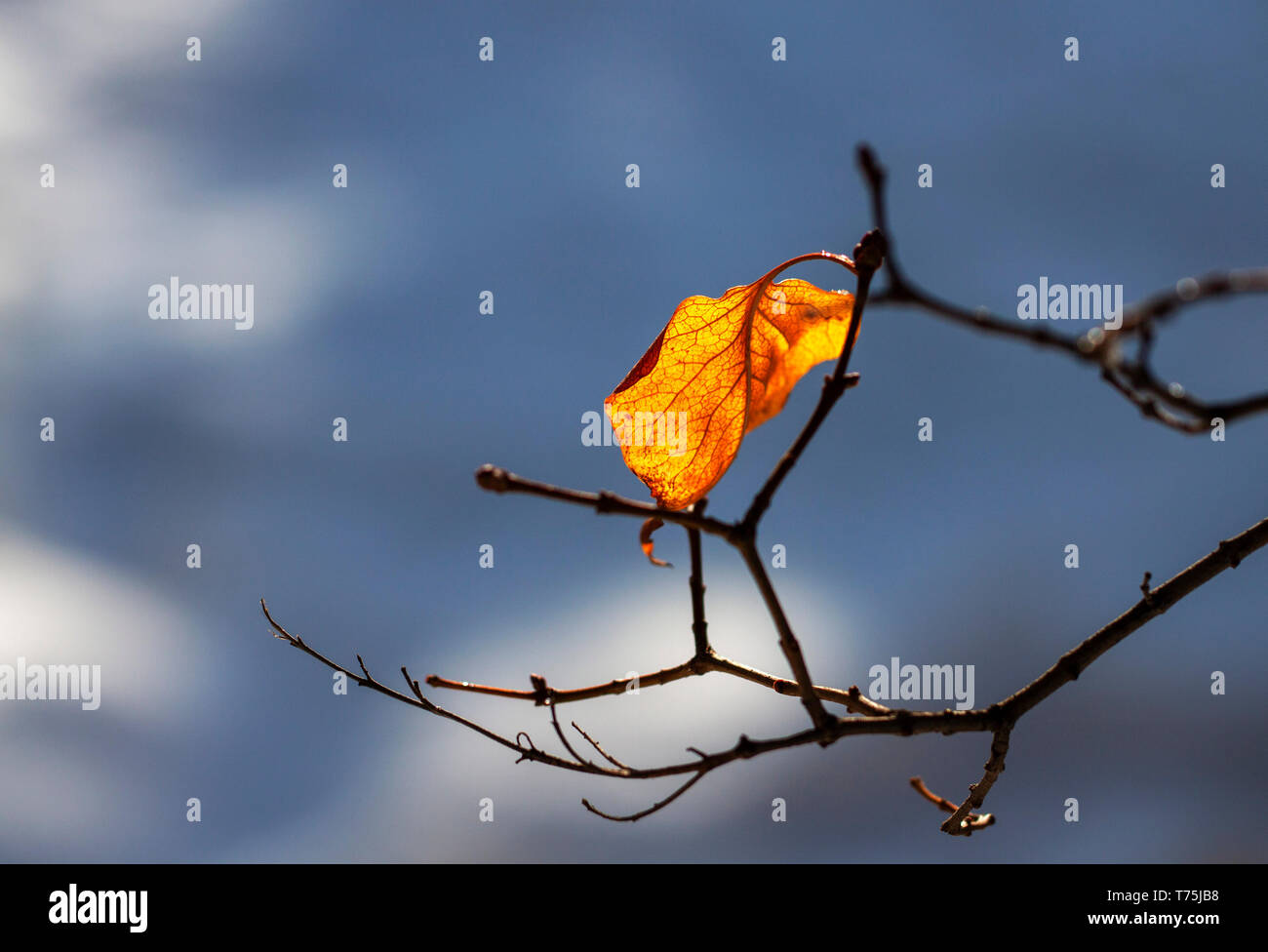 lonely autumn leaf on a branch - Stock Image