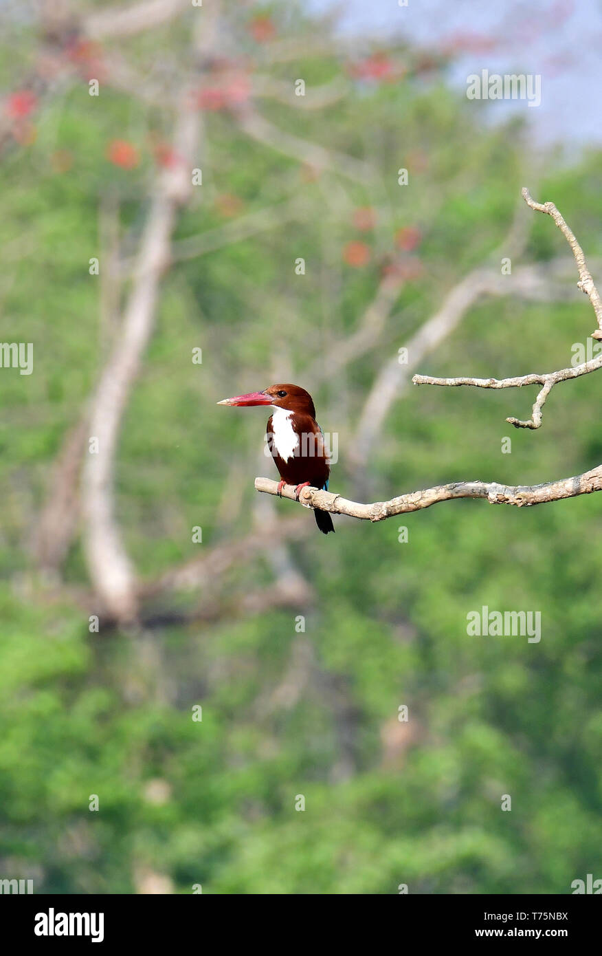White-throated kingfisher, Braunliest, Halcyon smyrnensis, Chitwan National Park, Nepal, UNESCO World Heritage Site - Stock Image