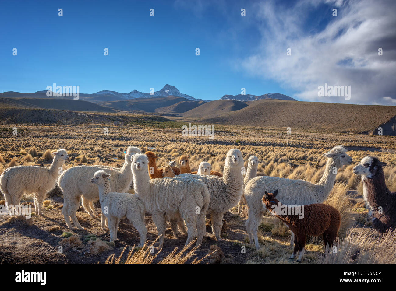 Herd of curious alpacas in Bolivia Stock Photo