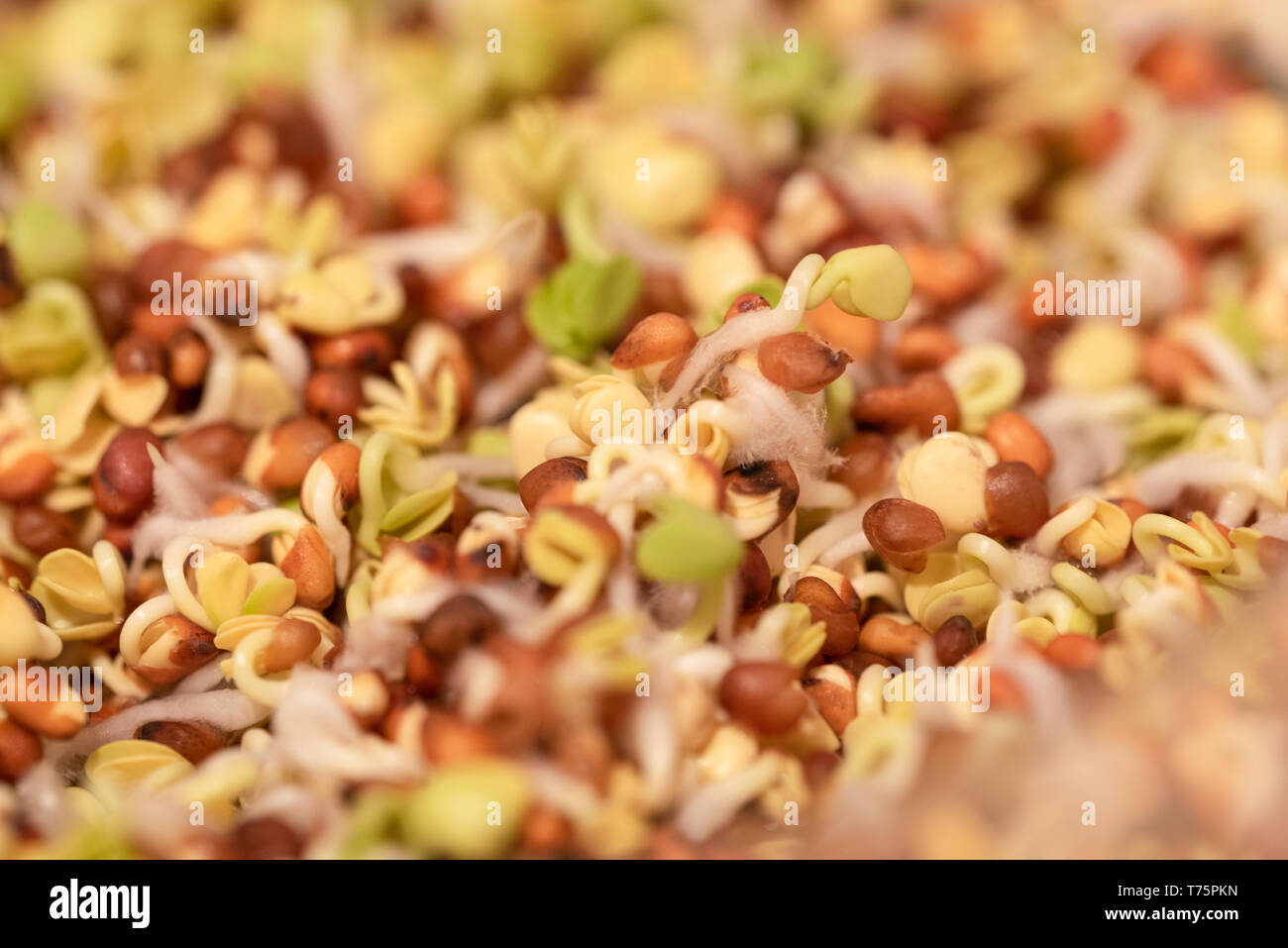 Edible germs in brown shells with green leaves macro Stock Photo