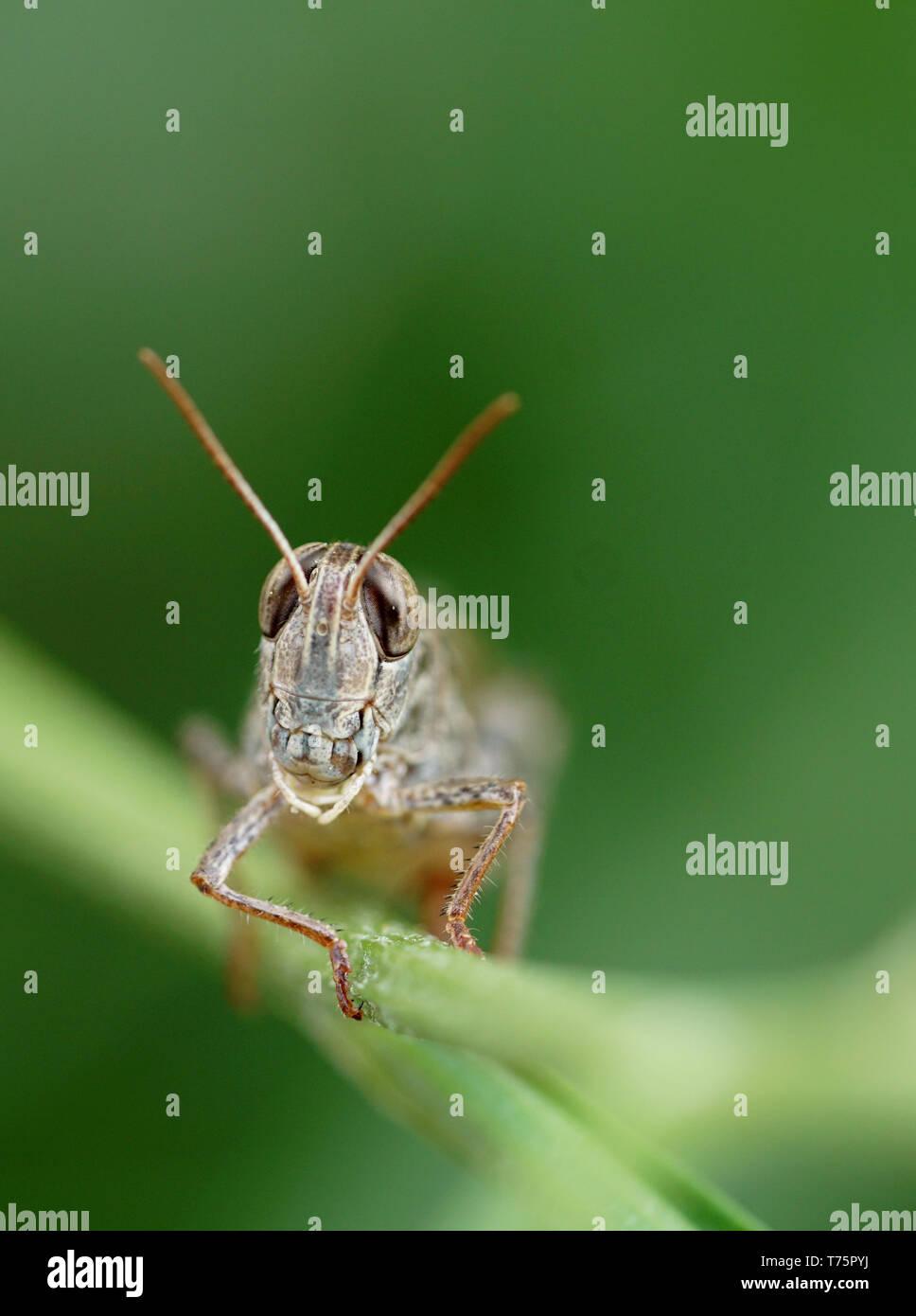 grasshopper - Heuschrecke - Stock Image