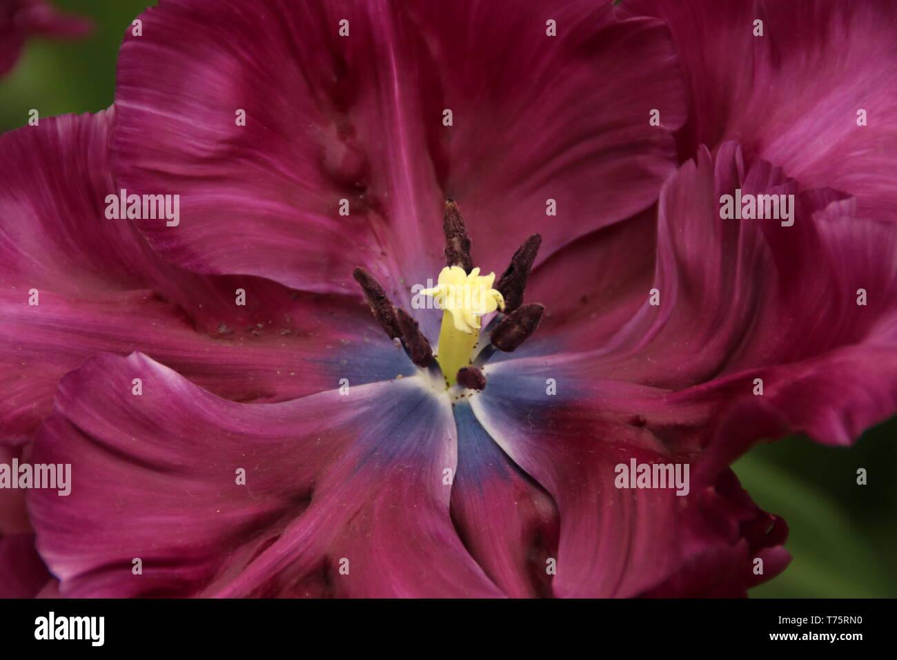 wunderschöne lila Tulpe im Keukenhof in Holland - Stock Image