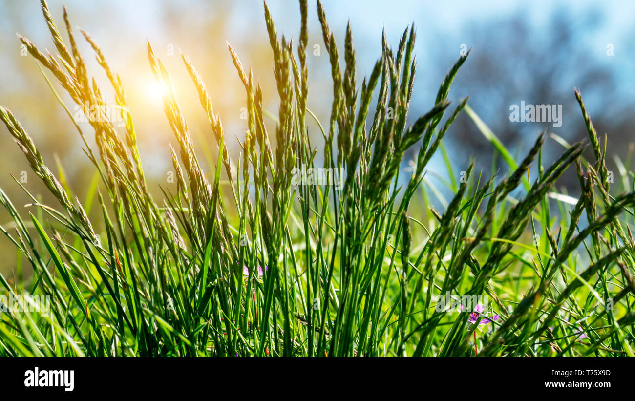 Flowering grass in detail - Allergens - Allergy in Germany Stock Photo