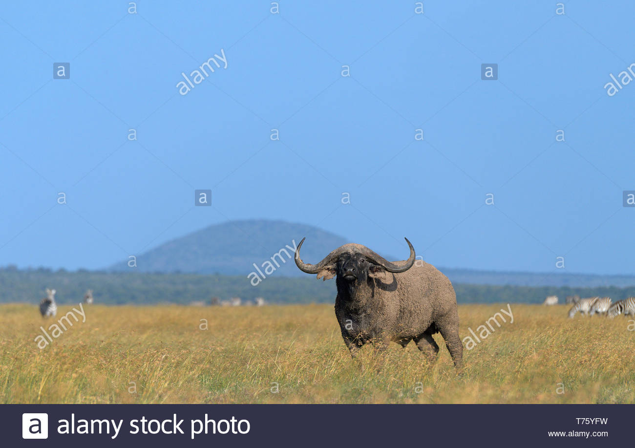 african black buffalo - Stock Image
