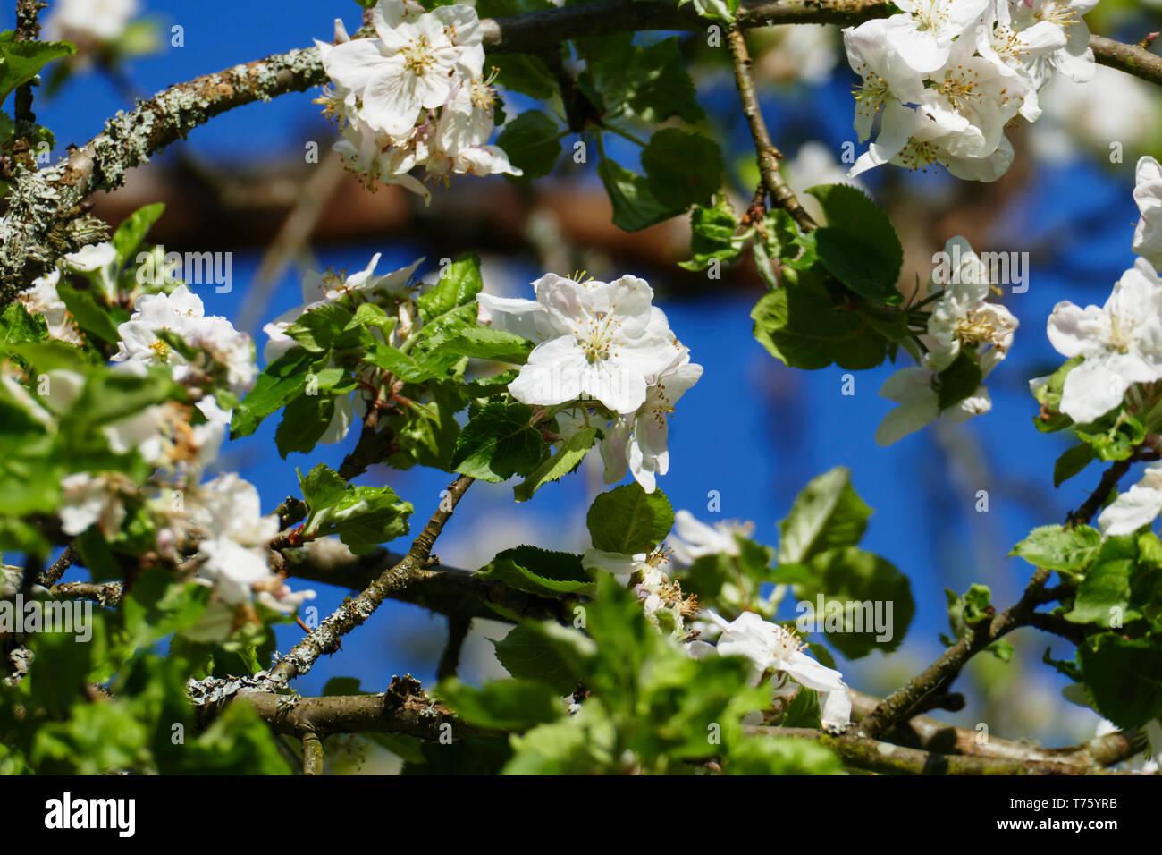Weiße Apfel Blüte am Baum, mit unscharfem Hintergrund - Stock Image